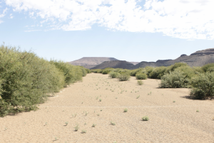 An invasion of Prosopis trees along a sandy riverbed, in the Northern Cape, South Africa. (Photo: F. Heystek, ARC-PHP).